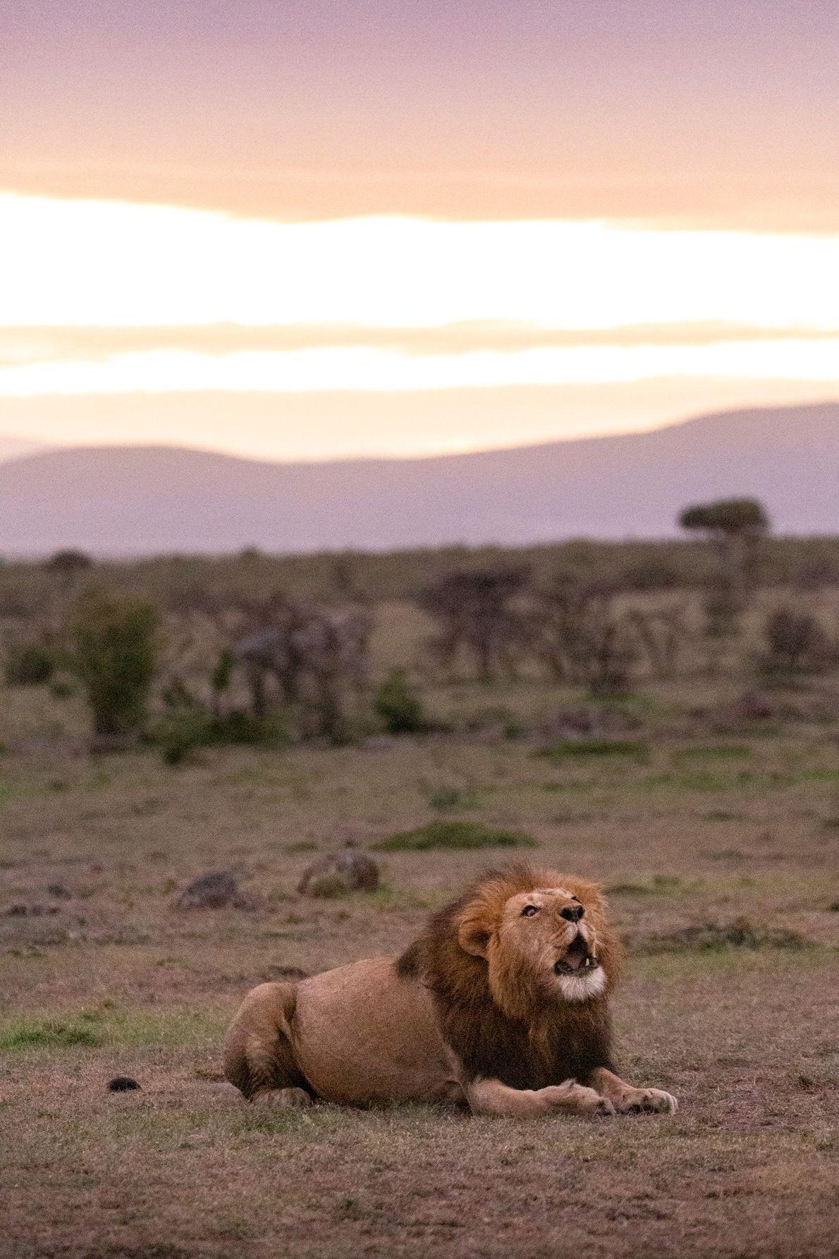 Mara Naboisho tem uma das maiores populações de leões de África.