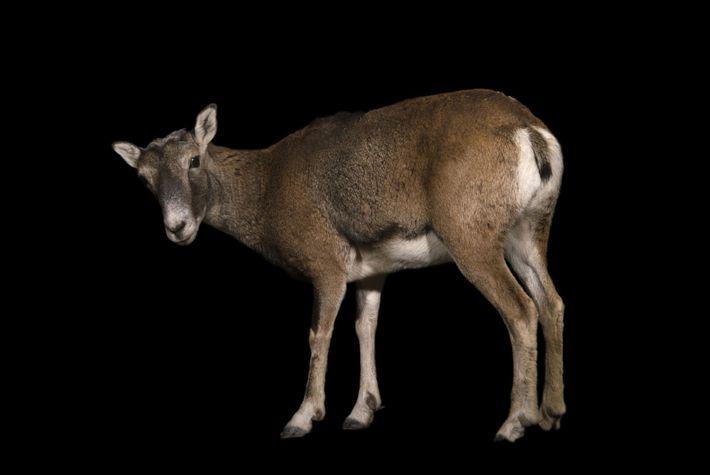 Muflão, Ovis ammon musimon, é o antecessor selvagem do carneiro doméstico.