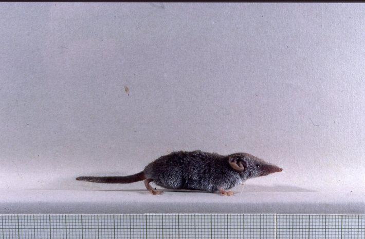 Musaranho-Pigmeu, da espécie Suncus Etruscus. O menor mamífero do mundo.