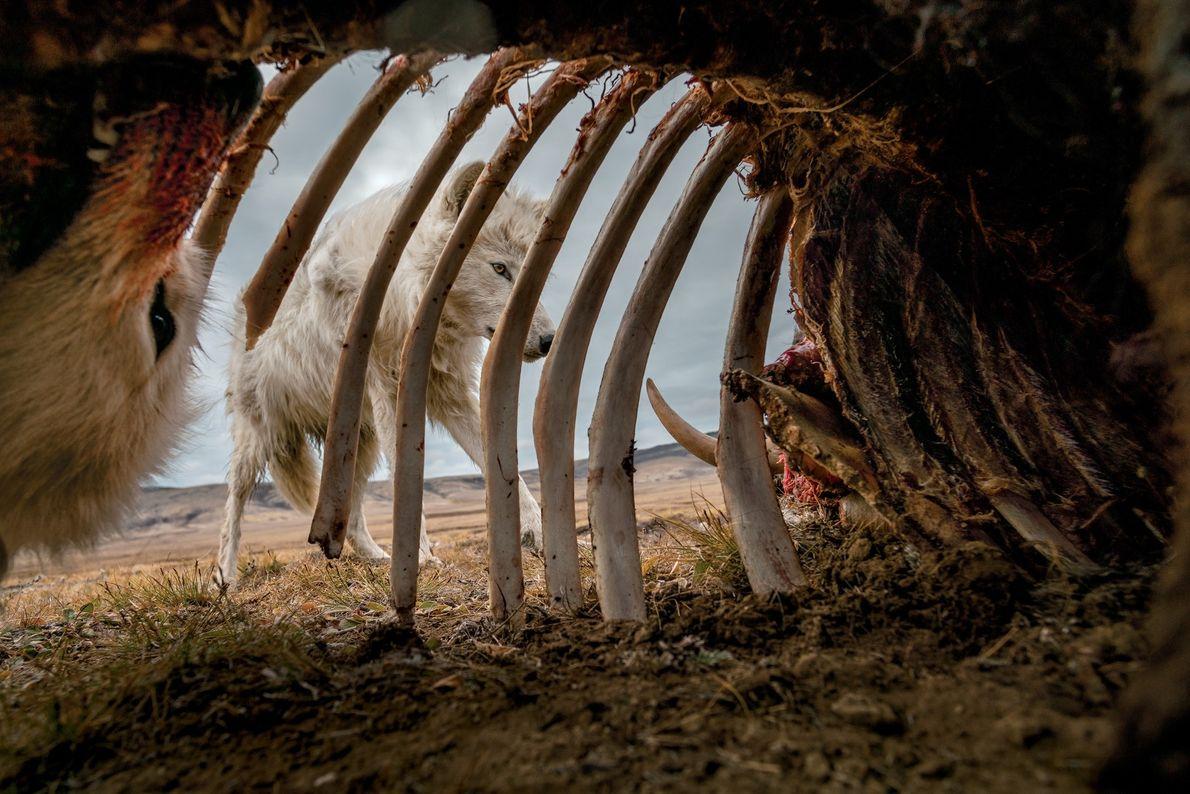 Lobos a alimentarem-se de restos de um boi-almiscarado. Para captar esta imagem, o fotógrafo Ronan Donovan ...