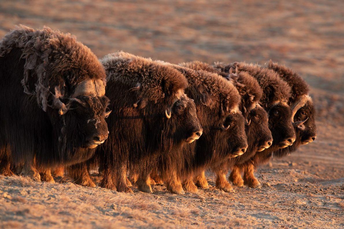 Os bois-almiscarados são dos poucos animais que conseguem trabalhar em conjunto para formar uma linha defensiva ...