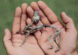 O Mussaurus patagonicus bebé era pequeno o suficiente para caber em mãos humanas.