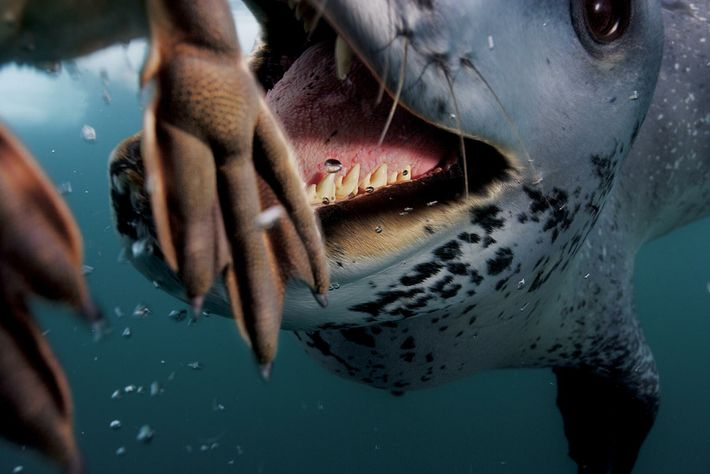 foca-leopardo