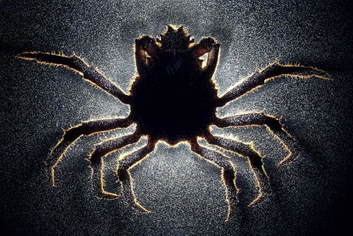 caranguejo Loxorhynchus grandis