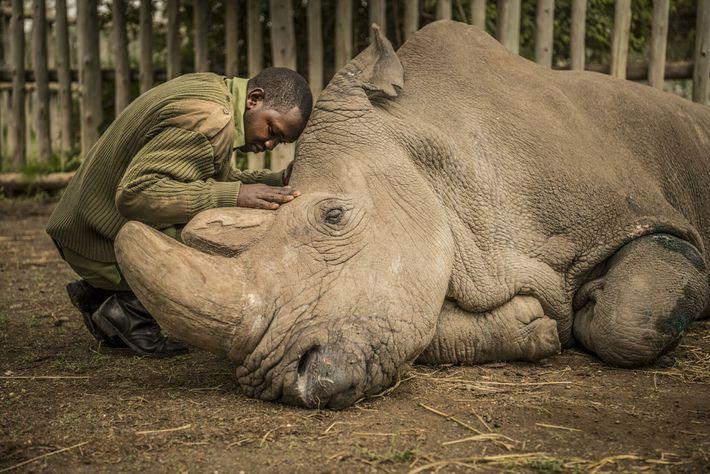 último rinoceronte-branco-do-norte do planeta