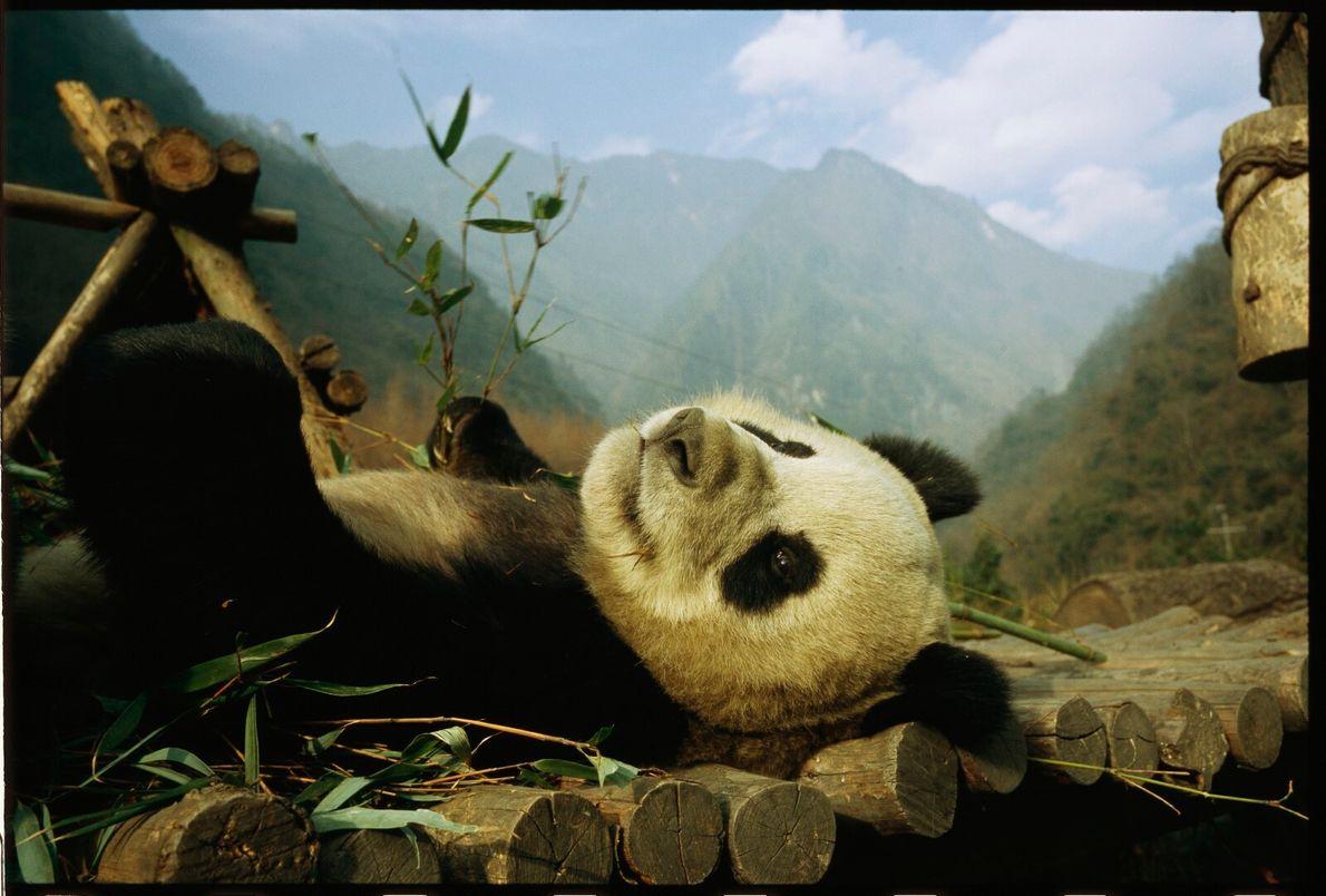 Panda tranquilo