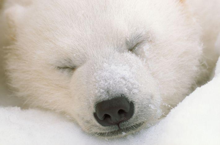 urso-polar dorme