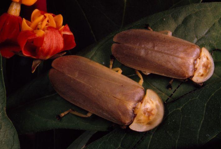 Dois pirilampos 'descansam' numa folha durante o dia.