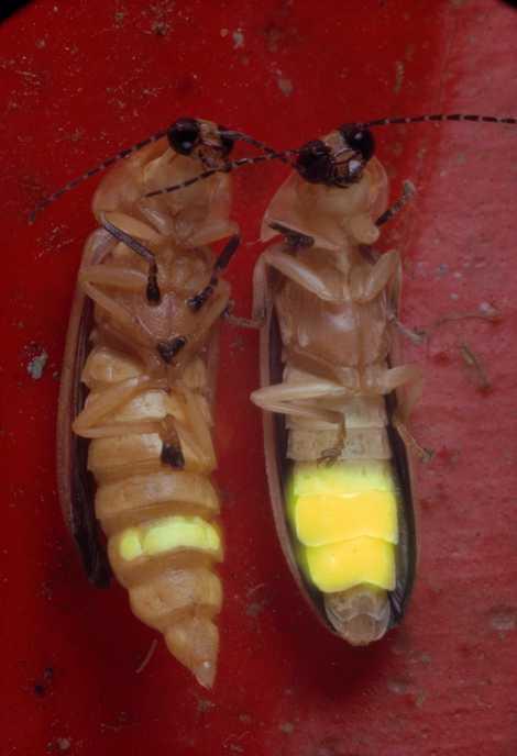 As fêmeas pirilampos possuem olhos menores e apenas um segmento iluminado.
