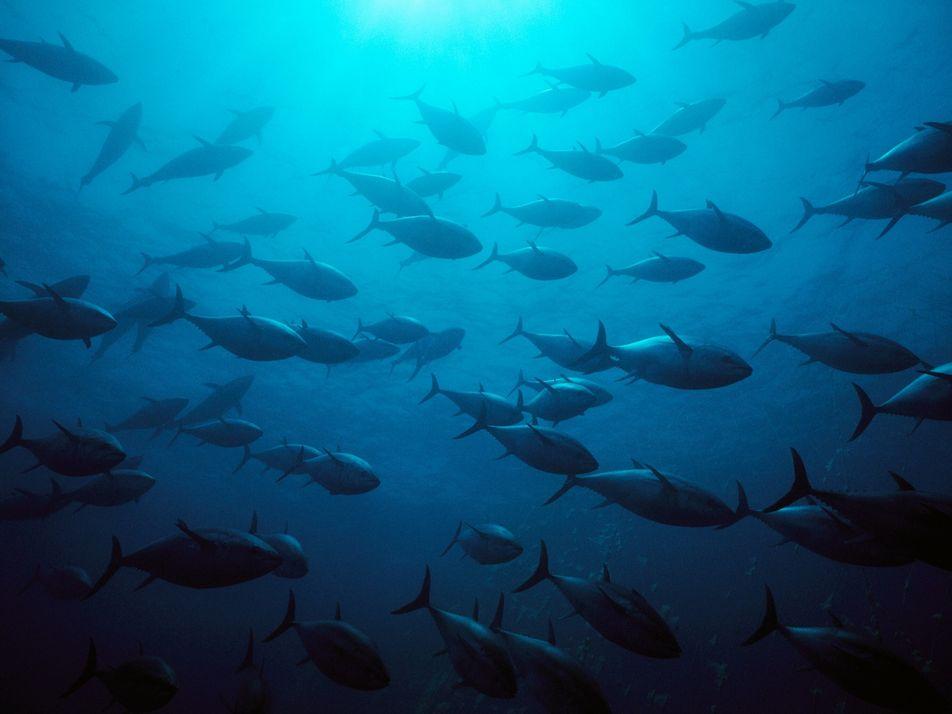 Estas espécies populares de atum já não estão ameaçadas, surpreendendo os cientistas