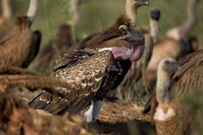 Um grupo de abutres de dorso branco no Parque Nacional de Samburu.