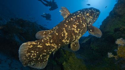 Estes peixes primitivos de águas profundas podem viver até aos 100 anos, surpreendendo os cientistas