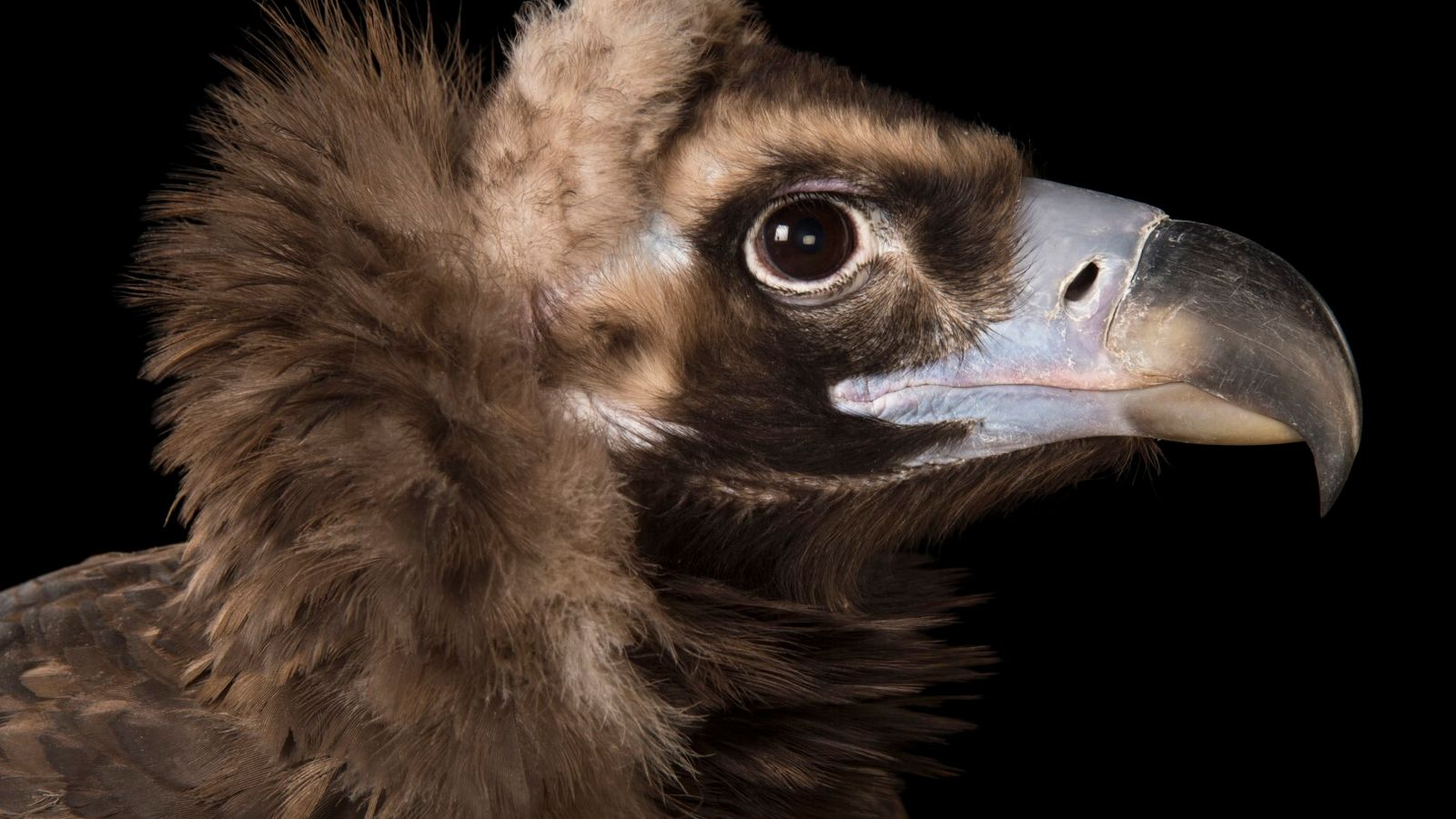 abutre-preto