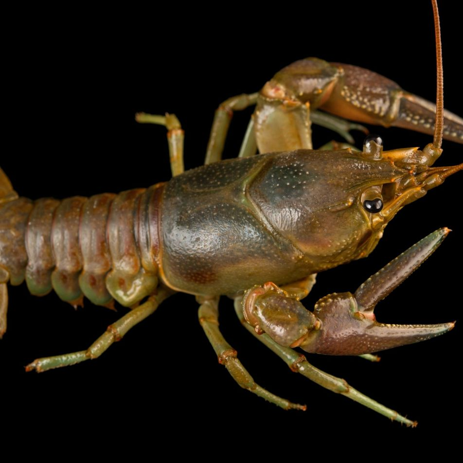 Espécie invasora de lagostim está a morrer nos EUA. Poderá um fungo ser a causa?