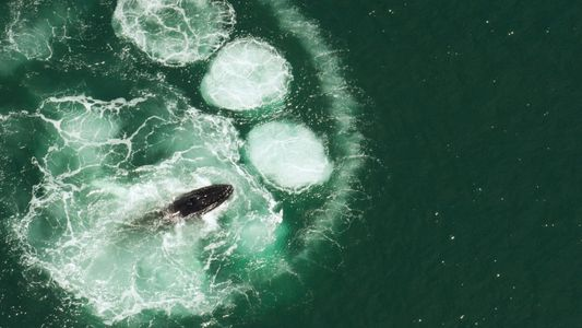 As baleias-jubarte não conseguem engolir um humano. Descubra porquê.