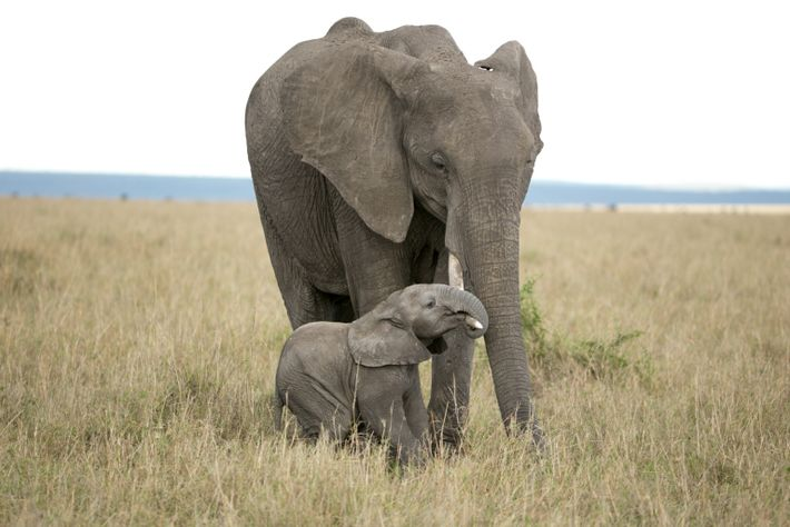 Elefante recém-nascido tenta pendurar-se na presa da sua mãe