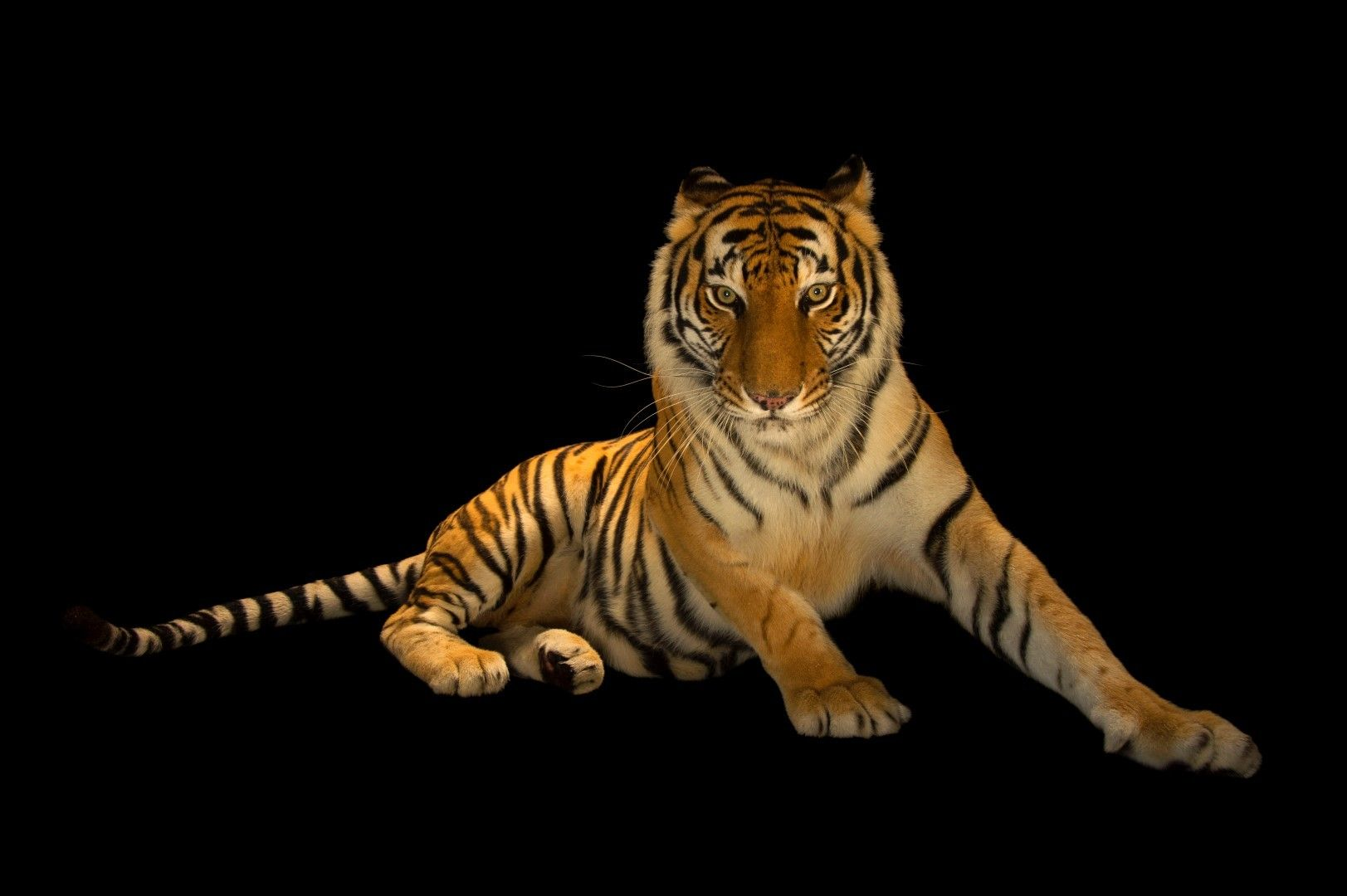 Tigre de Bengala | National Geographic