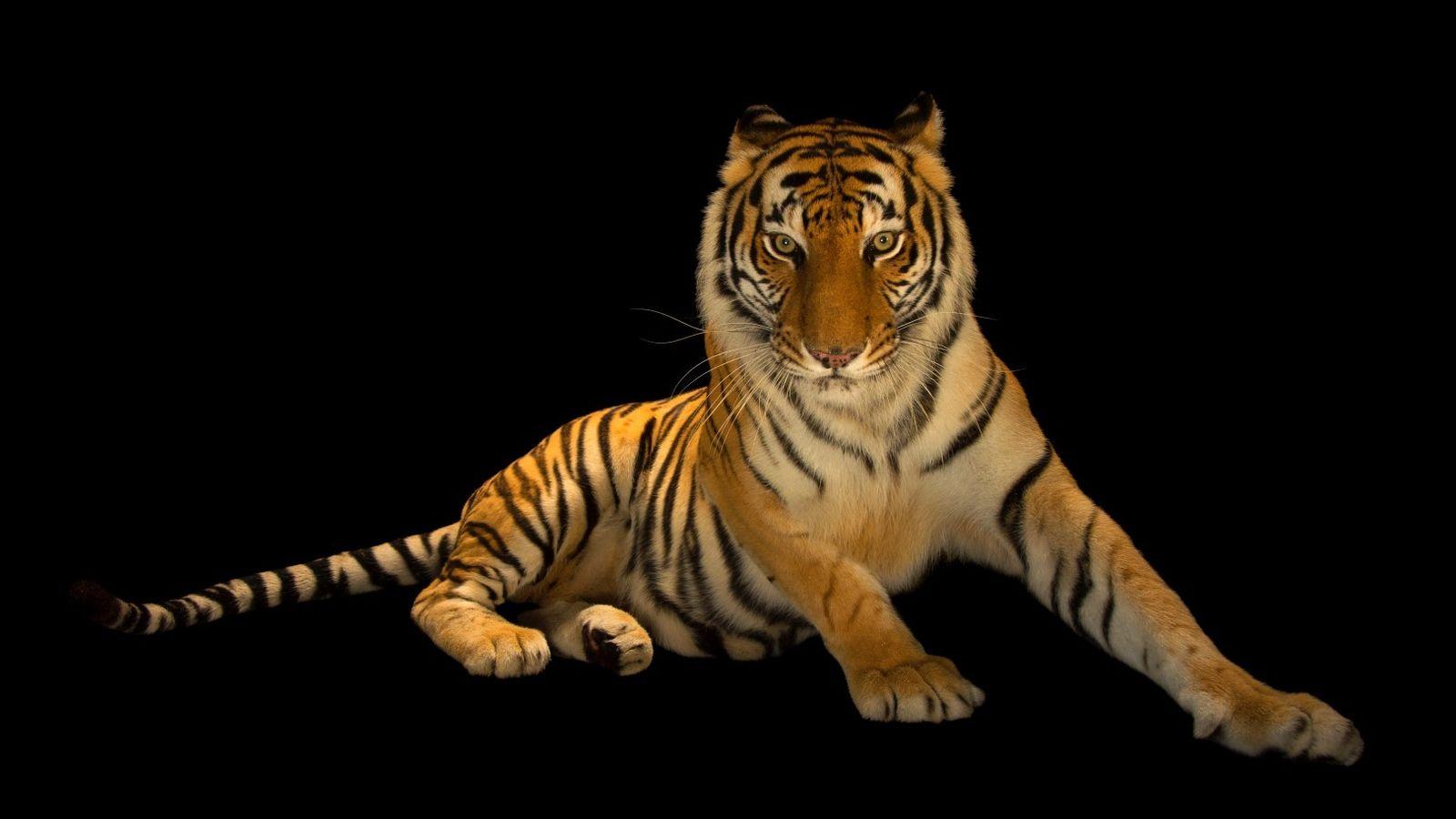 Um tigre de Bengala fêmea, Panthera tigris tigris, no Jardim Zoológico Alabama Gulf Coast.