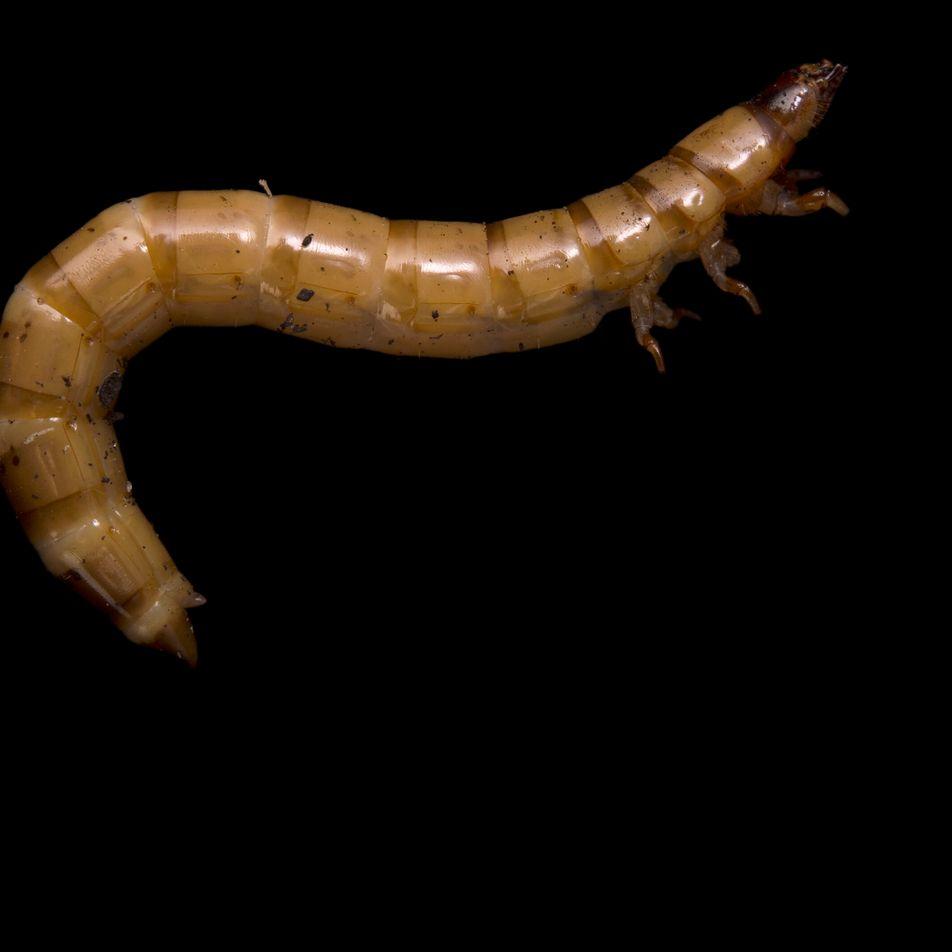 Larva de besouro: o primeiro inseto autorizado para consumo na Europa