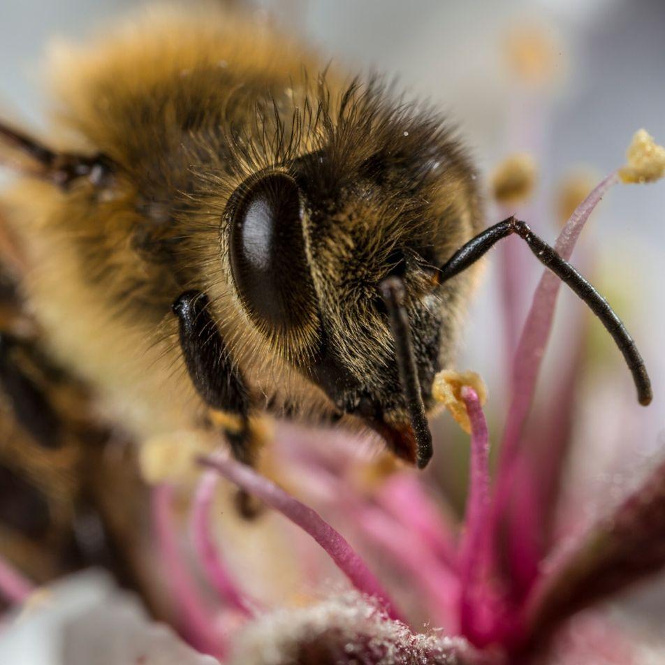 As abelhas estão a acumular microplásticos nos seus corpos