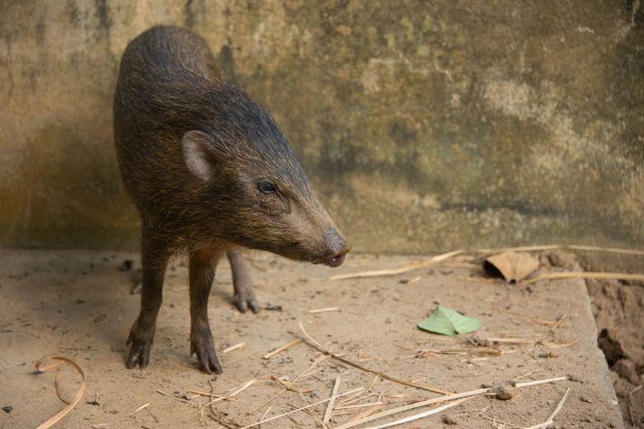 porco-pigmeu em cativeiro
