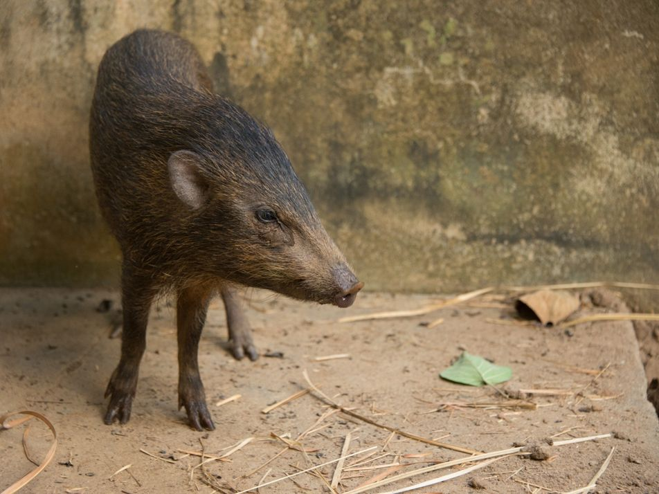 O porco mais pequeno do mundo, que se pensava extinto, regressou à natureza