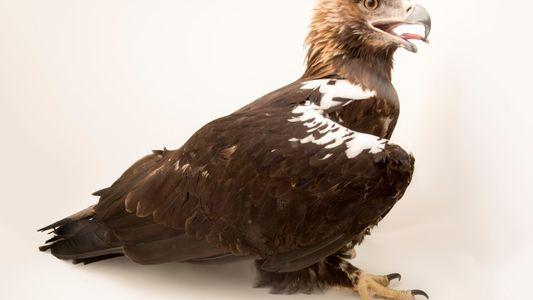 Águia-imperial-ibérica Avistada em Território Transmontano