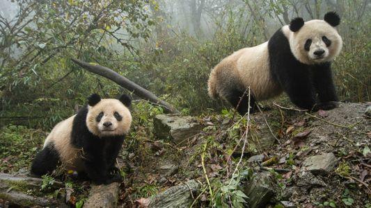 A China declara que os pandas já não são uma espécie ameaçada – mas as ameaças ...