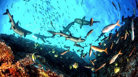 A ilha de Roca Partida, no Arquipélago Revillagigedo, hospeda um rico habitat marinho. Nesta imagem, tubarões-de-pontas-brancas e ...