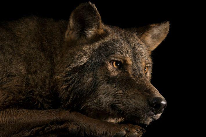 Apesar de persistentes, as alcateias de lobos ibéricos que habitam a região variam muito de tamanho. ...
