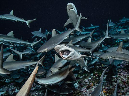 As formas surpreendentes como os tubarões mantêm o oceano saudável