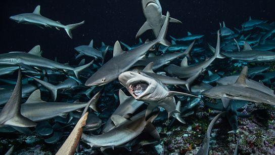 Tubarões-cinzentos, comuns na região do Indo-Pacífico, alimentam-se de peixes Naso brevirostris.