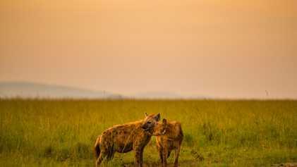 Parasita que controla a mente torna as crias de hiena mais imprudentes perto de leões