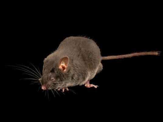 Estes ratos cegos conseguem 'ver' com as orelhas – algo inédito entre roedores
