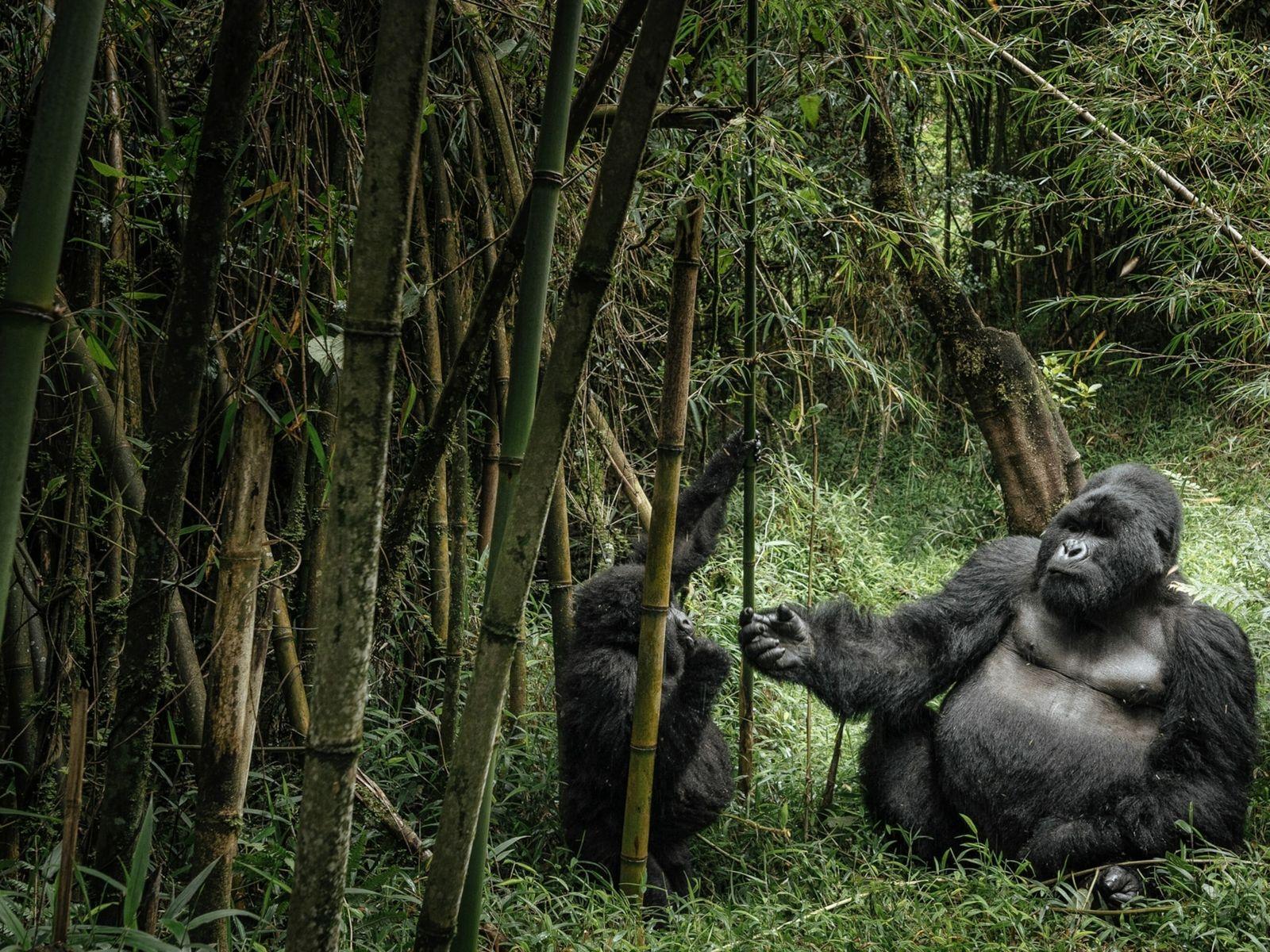 gorila de dorso prateado