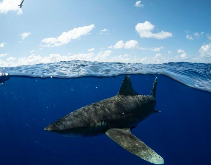 tubarão-de-pontas-brancas-oceânico