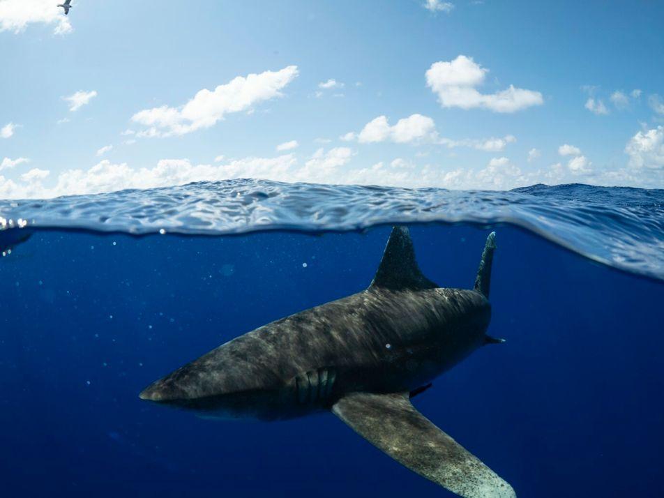 Desoxigenação do Atlântico está a empurrar os tubarões para superfície