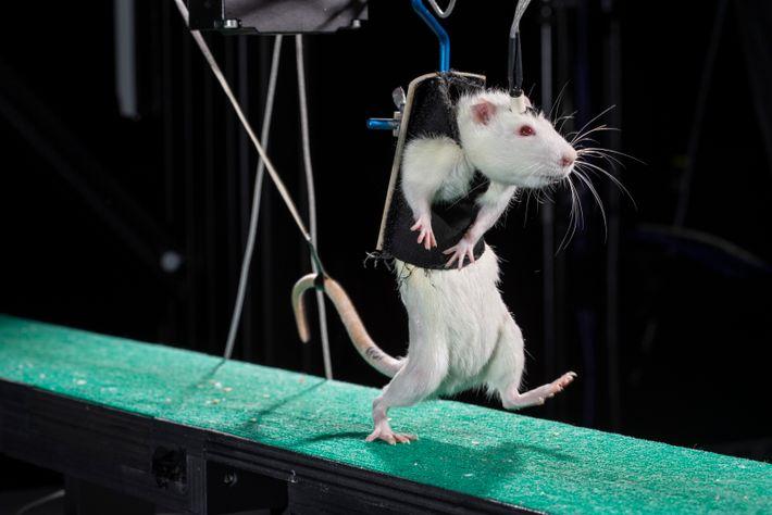 Um rato caminha numa passadeira durante um estudo científico.