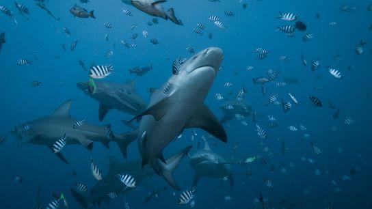 tubarão-buldogue