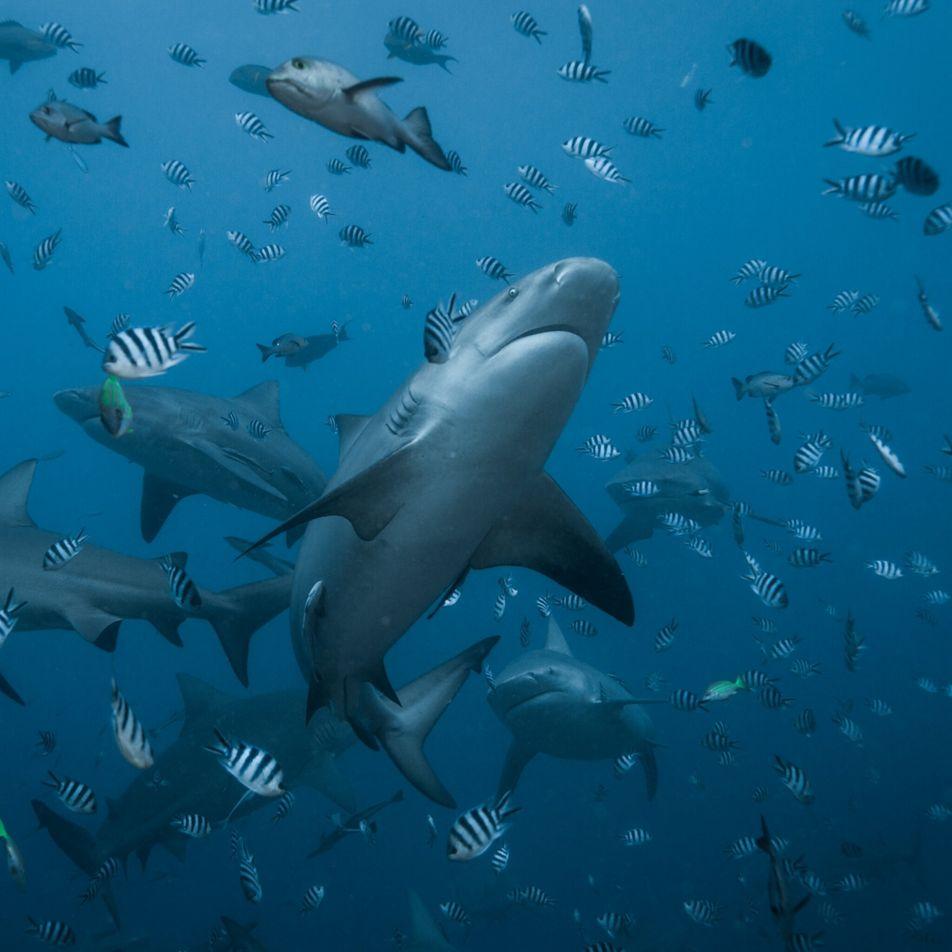 Descoberta surpreendente de crias de um dos maiores tubarões-buldogue do mundo