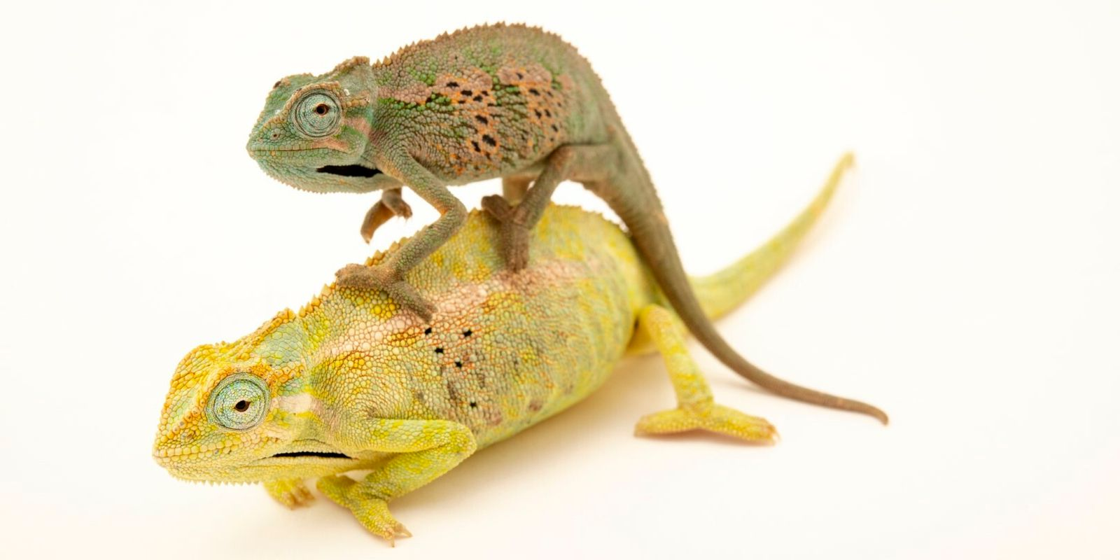 Projeto Camaleão ajuda a conservar espécie camaleão-comum no Algarve