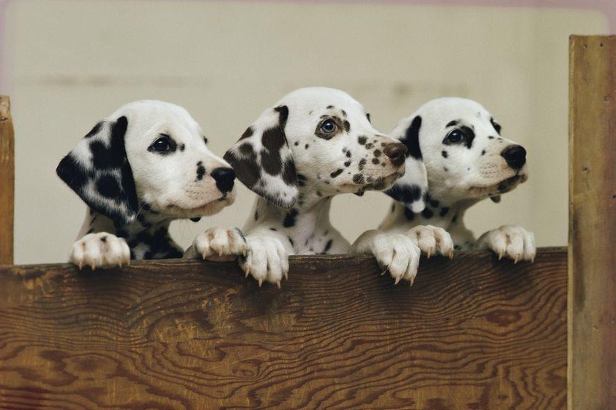 Três cachorros dálmatas curiosos espreitam por cima de uma prancha, com as patas apoiadas no topo ...