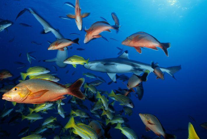 Tubarões de ponta negra e outros peixes nadam em torno da câmara.