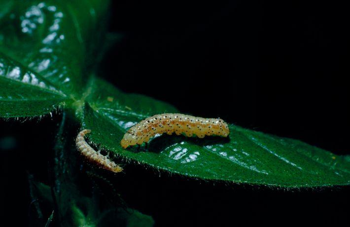 Uma larva aproxima-se de uma lagarta.