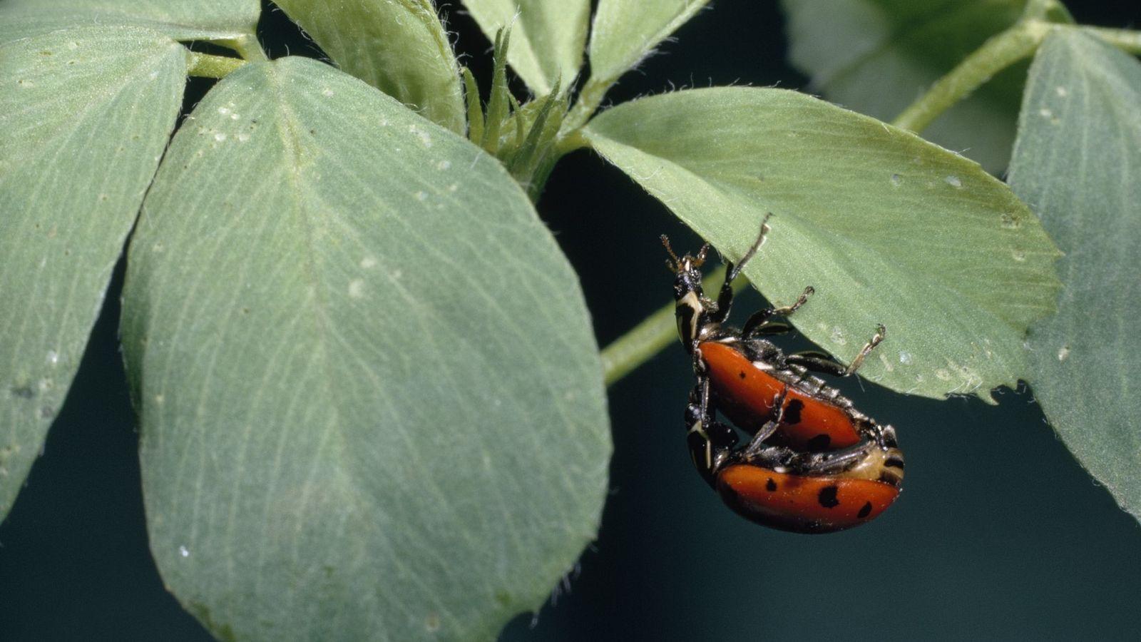 Um macho fertiliza uma joaninha convergente numa folha de alfafa.