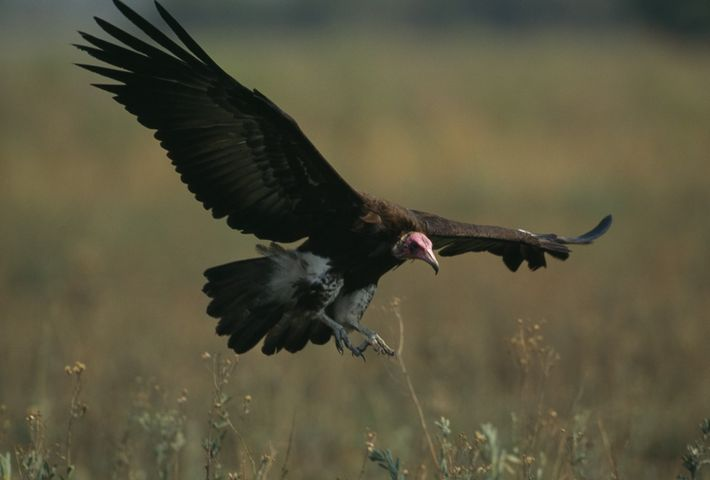 Um abutre prepara-se para pousar num campo com vegetação.