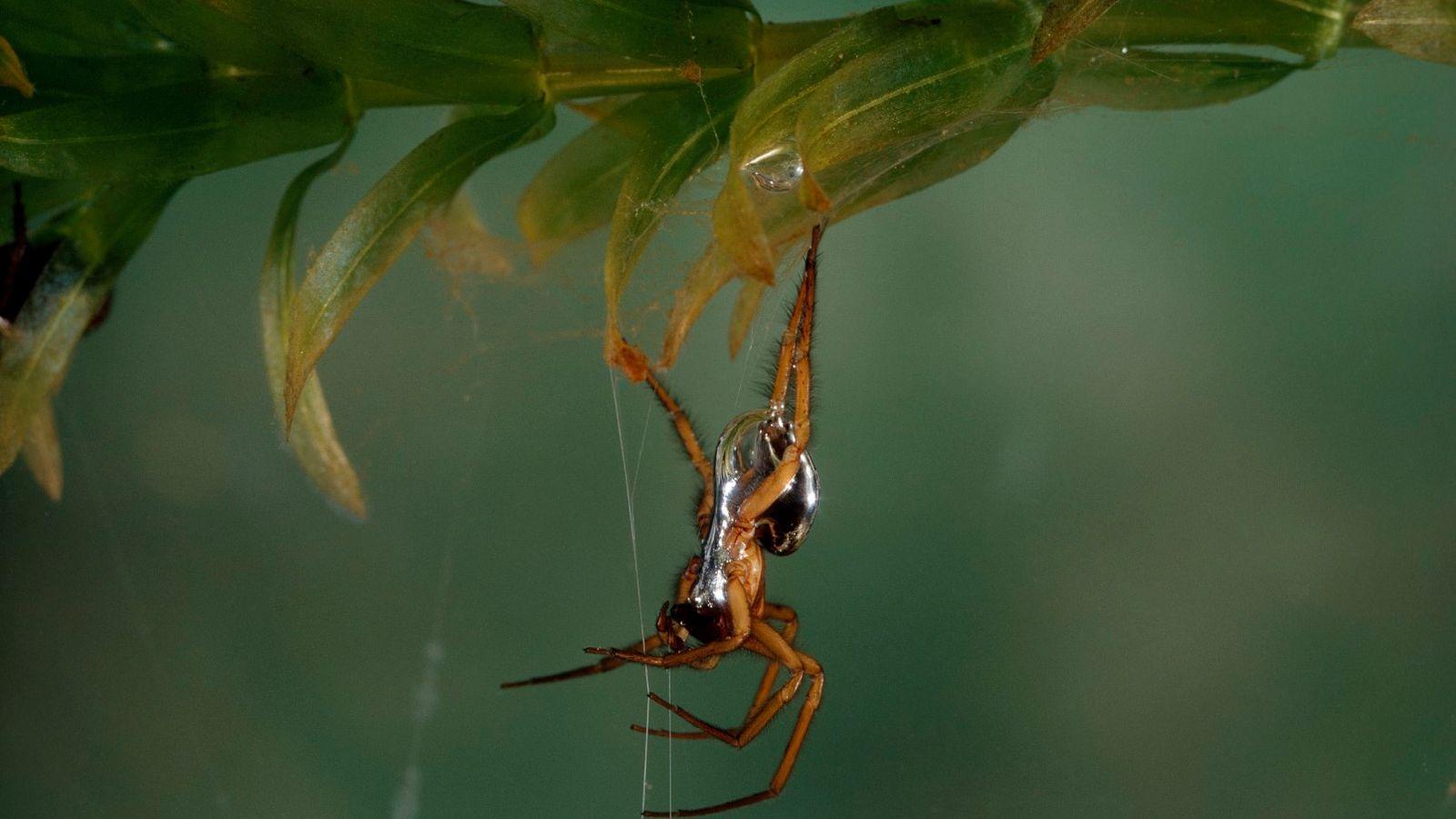Argyroneta aquatica, conhecida popularmente por aranha-de-água, na sua teia subaquática.