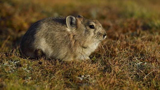 Estes pequenos animais parecidos com coelhos têm uma estratégia invulgar para sobreviver ao inverno