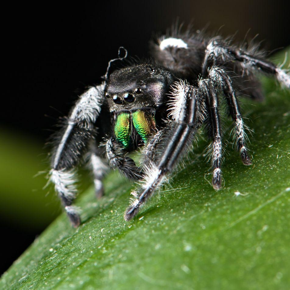 Como os metais pesados dão às aranhas e a outros pequenos animais a sua poderosa picada