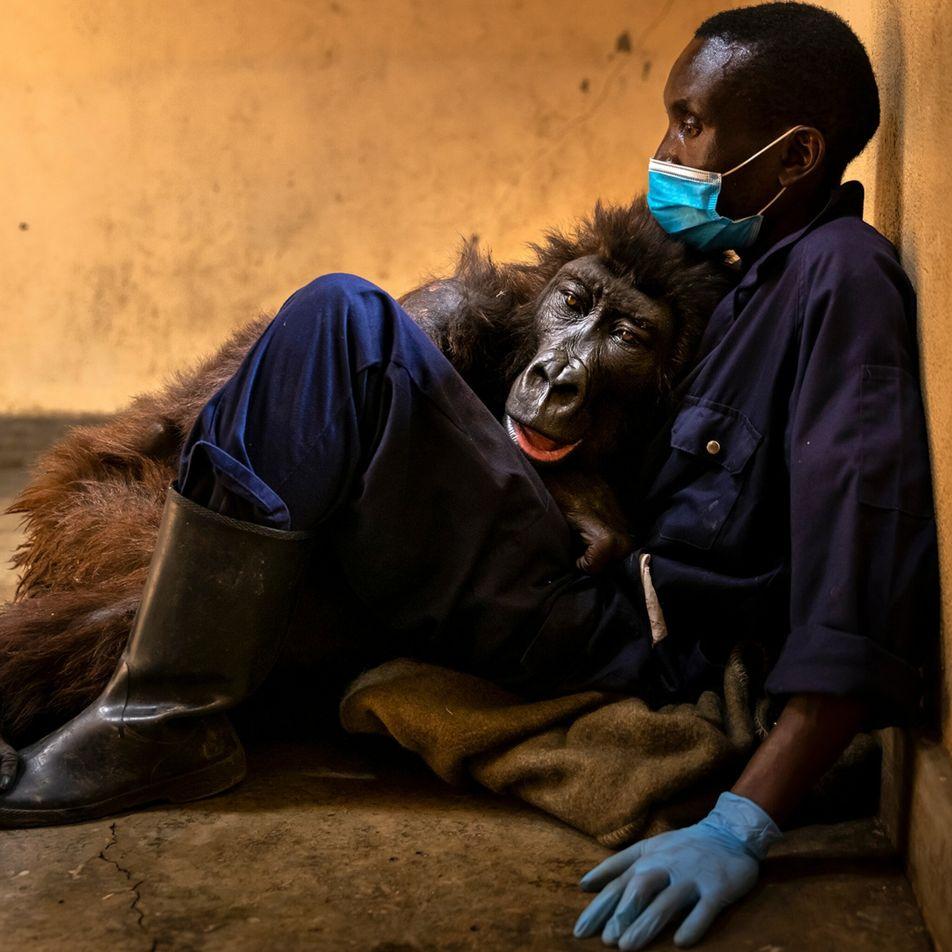Recordar Ndakasi, uma adorada gorila-das-montanhas